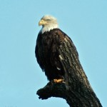 Bald Eagle Silver Lake pa