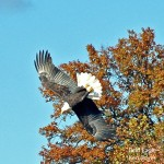 Bald Eagle October 2013 Silver Lake PA