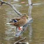 Female Mallard Silver Lake PA
