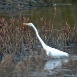 Great Egret Silver Lake PA
