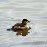 Ruddy Duck Silver Lake PA