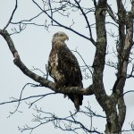 Immature Bald Eagle Silver Lake PA