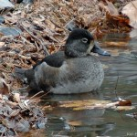 Juvenile Ring Necked Duck Silver Lake PA