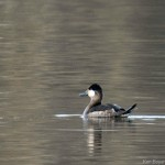Ruddy Duck (Stiff Tail Duck Family!) 11/2013