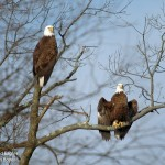 Bald Eagles Silver Lake PA