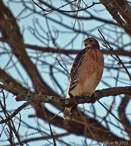 Coopers Hawk Silver Lake PA