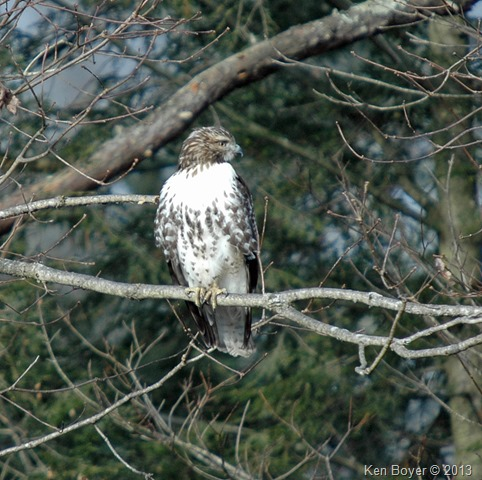 Juvenile Red Tailed Hawk Silver Lake PA