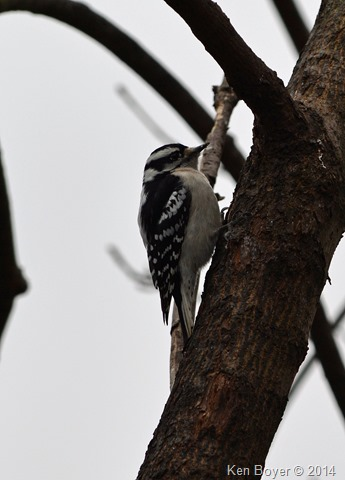 Female Downy Woodpecker Silver Lake PA