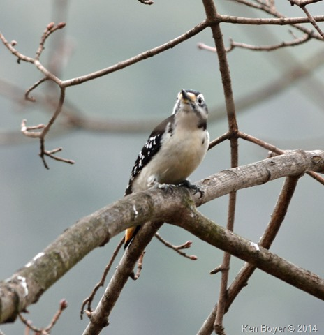 Female Hairy Woodpecker Silver Lake PA