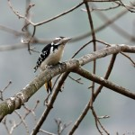 Male Hairy Woodpecker Silver Lake PA