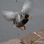 Male Mallard Duck Silver Lake PA