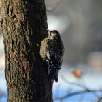 Male Yellow Bellied Sapsucker Silver Lake PA