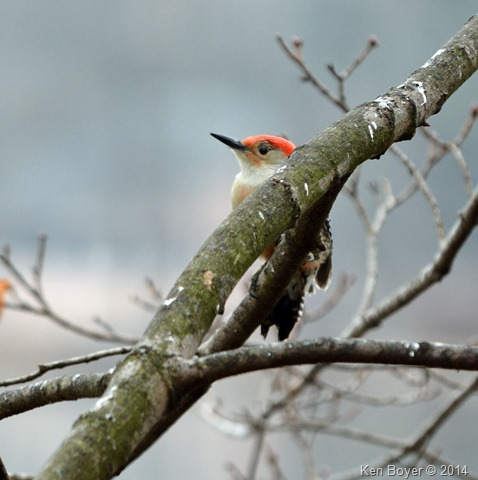Red Bellied Woodpecker Silver Lake PA