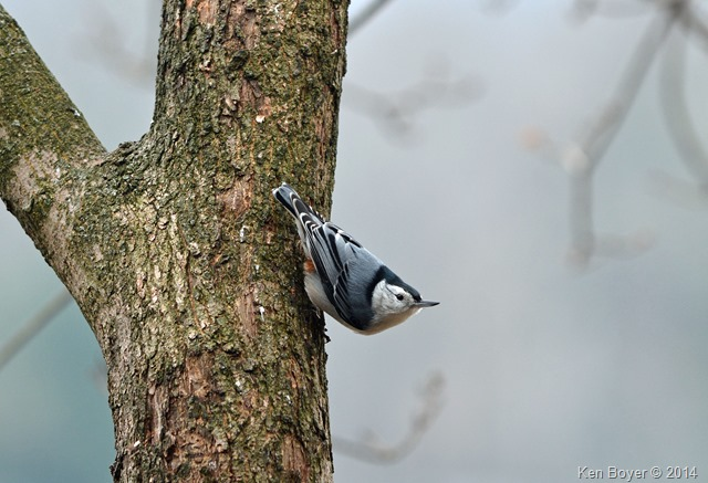 White Breasted Nuthatch Silver Lake PA