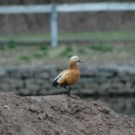 Ruddy Shelduck 2008