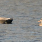 Gadwall Ducks 2009