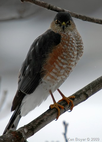 Sharp-Shinned Hawk 2009