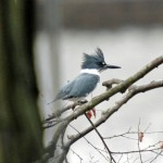 Belted Kingfisher 2011