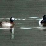 Greater Scaups 2011