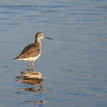 Greater Yellowlegs 2011