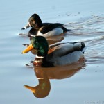 Male Mallard & Ring Necked Duck 2011