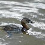 Pied-Billed Grebe 2011