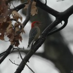 Red-Bellied Woodpecker 2011
