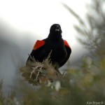 Red-Winged Blackbird 2011