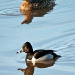 Ring Necked Duck and Female Mallard 2011