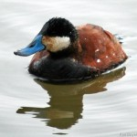 Ruddy Duck (Mating Colors) 2011