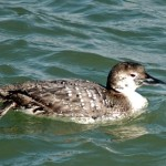Common Loon - Winter Colors 2012