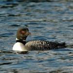 Common Loon 2012