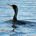 Double Crested Cormorant 2012