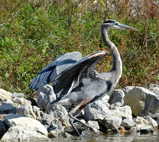 Great Blue Heron 2012