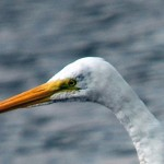 Great Egret 2012