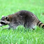 Raccoon 2012