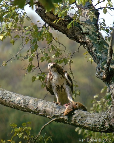 Red-Tailed Hawk picking prey out of the tree! 2012