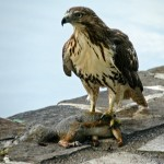 Red-Tailed Hawk with prey 2012