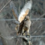Red Tailed Hawks 2012