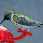 Ruby-throated Hummingbird - female 2012