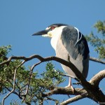 Black-Crowned Night Heron 2013