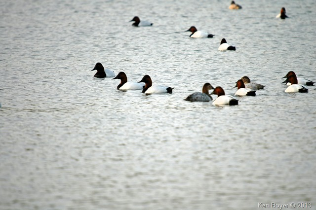 Canvasback Ducks 2013