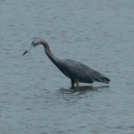 Little Blue Heron 2013