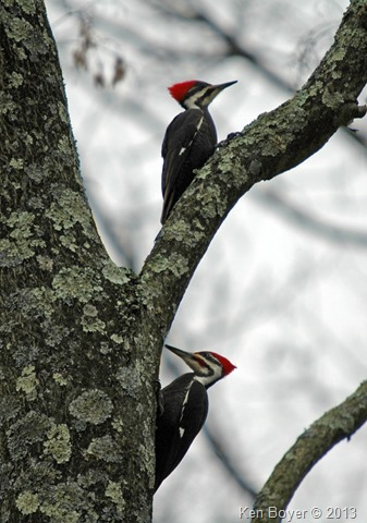 Pileated Woodpeckers 2013