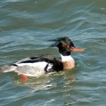 Red-Breasted Merganser 2013