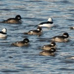 Bufflehead Ducks 2014