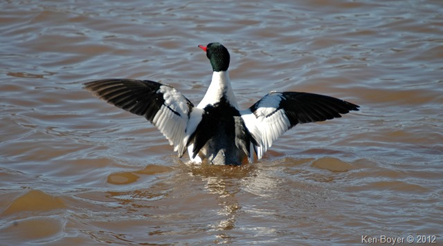 Common Merganser 2014