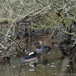 Hooded Mergansers 2014