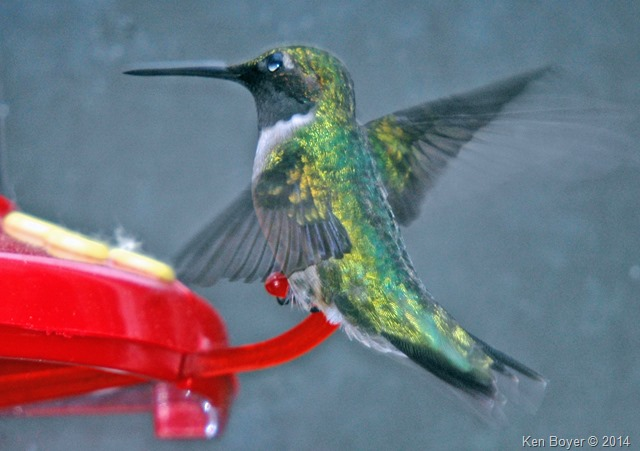 Ruby-Throated Hummingbird - female 2014
