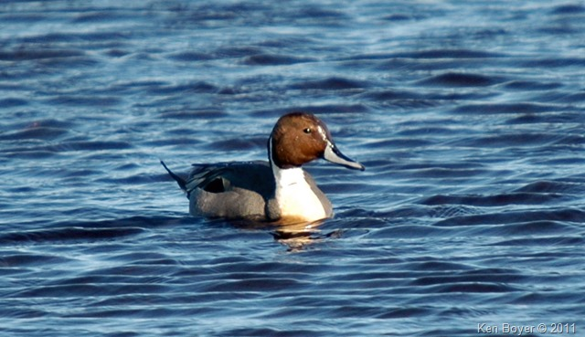 Northern Pintail Duck 2014